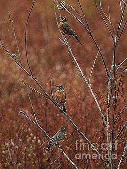 American Robins  by Ruth Housley