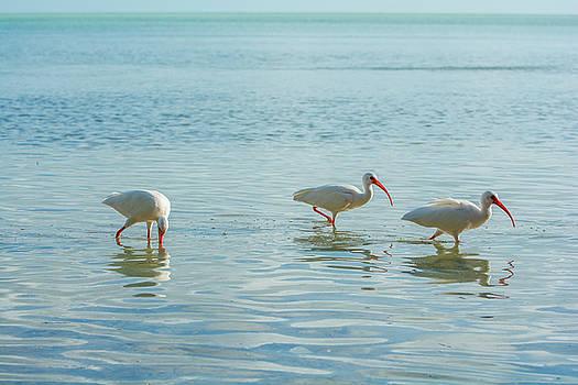 American white ibis by Manuel Lopez