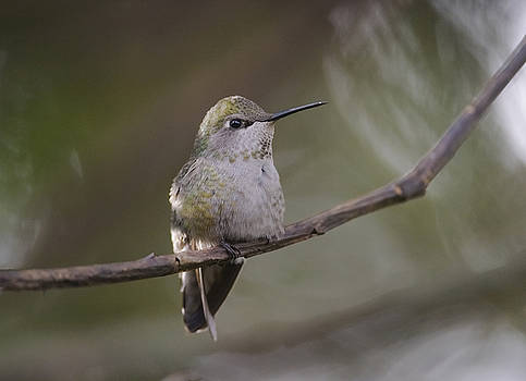 Anna's Hummingbird by Kathy King