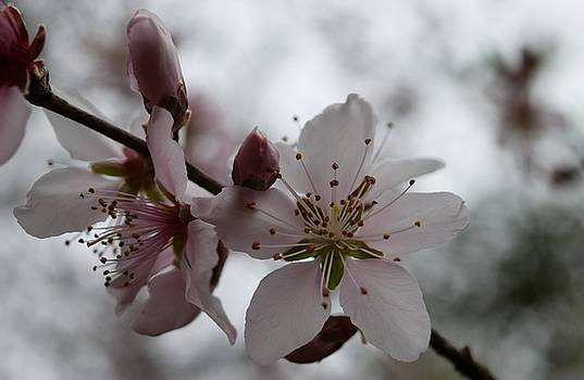 Apple Blossom by Renee Olson