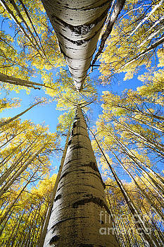 Kate Avery - Aspens in the Fall