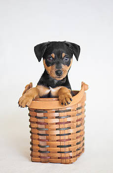 Awwdorable Animal Rescue Portraits - Hank the Minpin by Andrea Borden