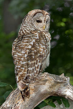 Barred Owl by Christopher Ciccone