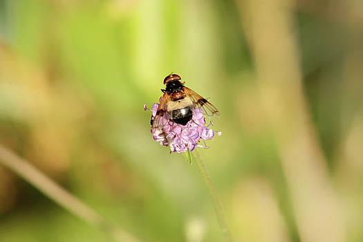 Bee on Flower by Frances Lewis