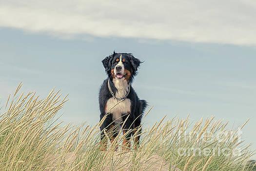 Bernese Mountain Dog by Aleksey Tugolukov