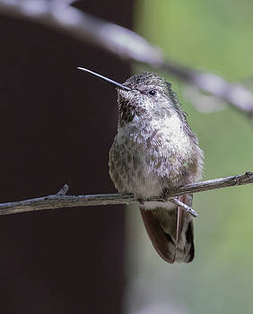 Dee Carpenter - Black-chinned Hummingbird