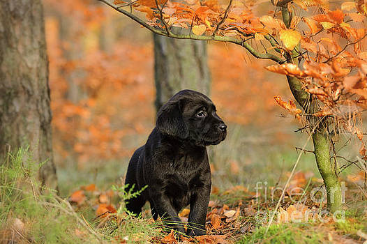 Waldek Dabrowski - Black Labrador retriever puppy