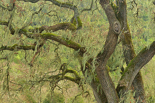 Black Oak Spanish Moss by Dean Hueber