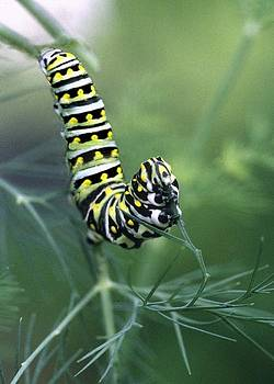 Black Swallowtail Caterpillar by Richard Nickson