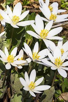 Steven Ralser - Bloodroot flowers