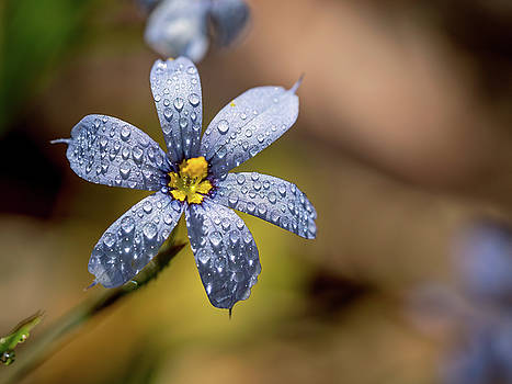 Blue Eyed Grass Flower by Brad Boland