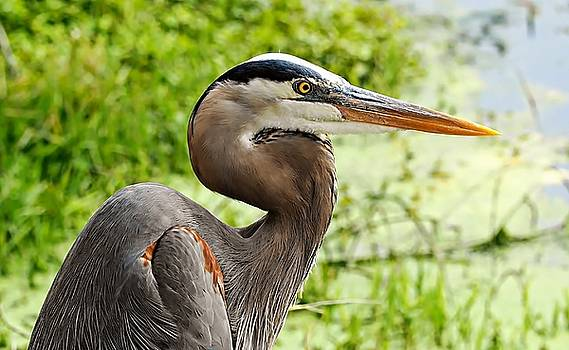 Blue Heron Heads Up by William Bosley