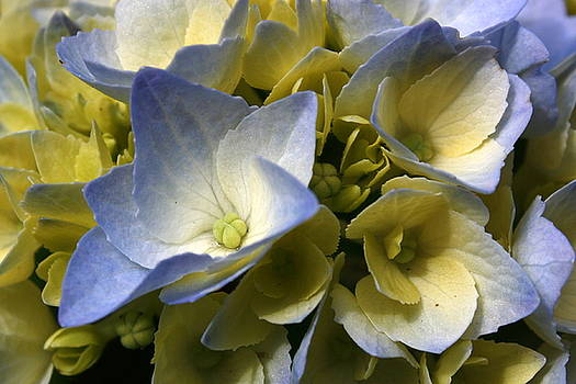 Annie Babineau - blue hydrangea