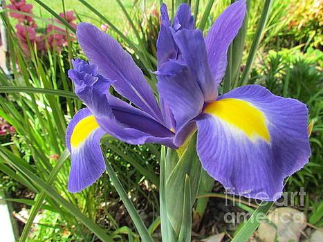 Blue Iris by Joyce Woodhouse