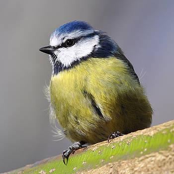Blue Tit by Gavin Macrae
