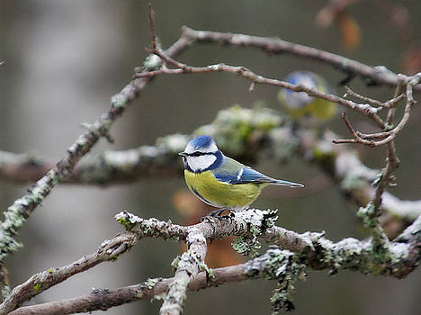 Blue tit by Jouko Lehto