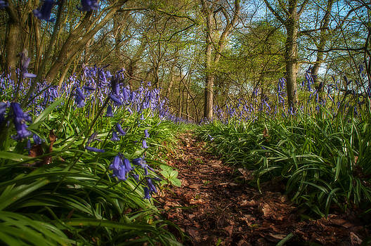 Bluebells by Darren Marshall