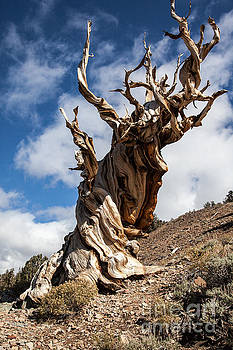 Bristlecone Pine by Richard Smukler