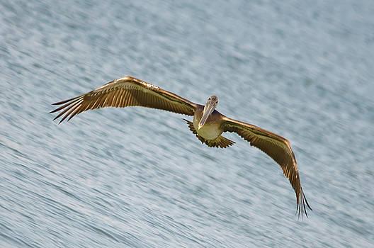Christine Kapler - Brown Pelican flying