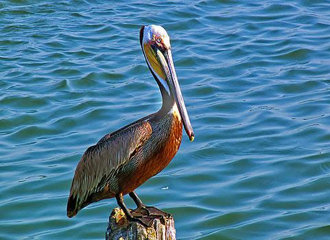 Brown Pelican by Robert Brown