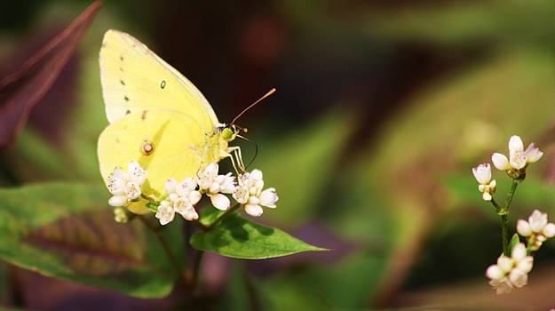 Paulette Thomas - Butterfly