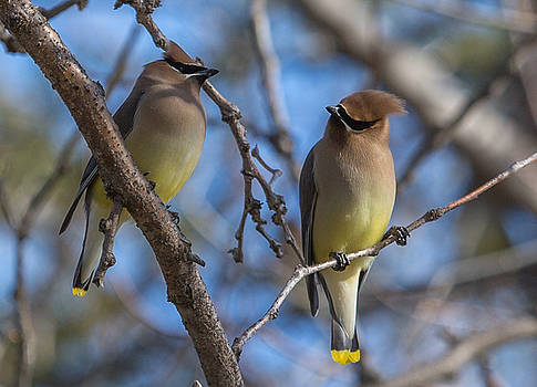 Dee Carpenter - Cedar Waxwing