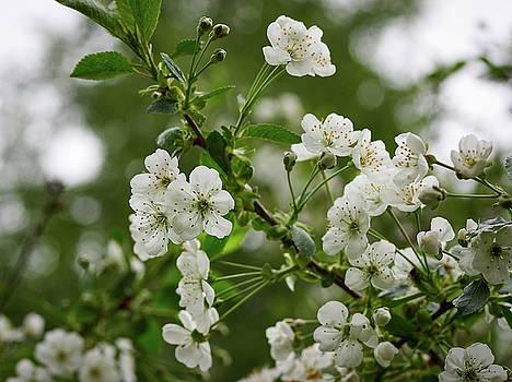 Cherry flowers by Jouko Lehto