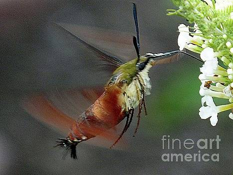 Cindy Treger - Hovering Clearwing Hummingbird Moth
