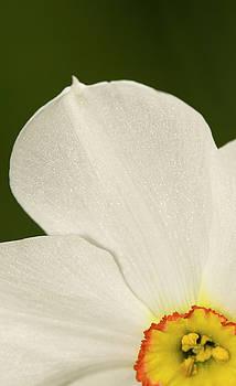 Daffodil by Jouko Mikkola