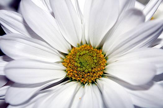 Daisy by Carolyn Ricks