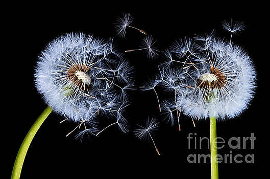 Dandelion on black background by Bess Hamiti