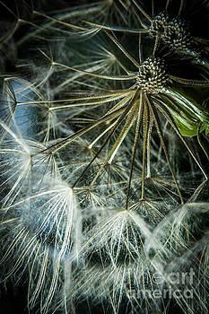 Dandelions by Iris Greenwell