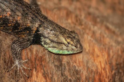 Desert Spiny Lizard by Rich Leighton