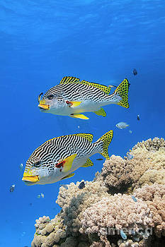 Diagonal banded Sweetlips fish - Plectorhinchus lineatus by Carl Chapman