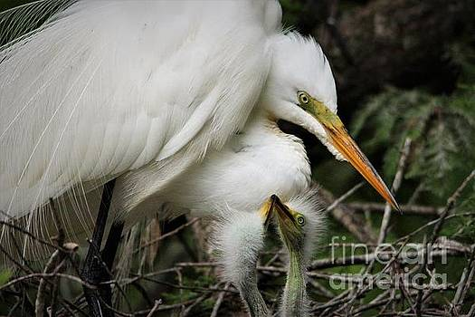 Egret With Babies by Paulette Thomas