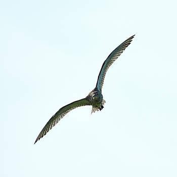 Eurasian curlew by Jouko Lehto