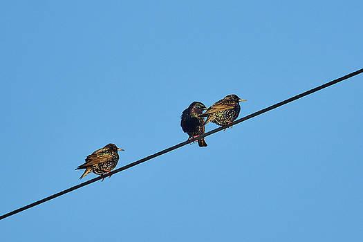 European starling by Jouko Lehto