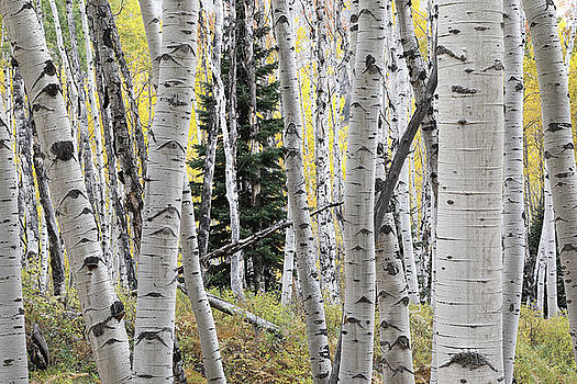 Fall Aspens  by Tom Cuccio