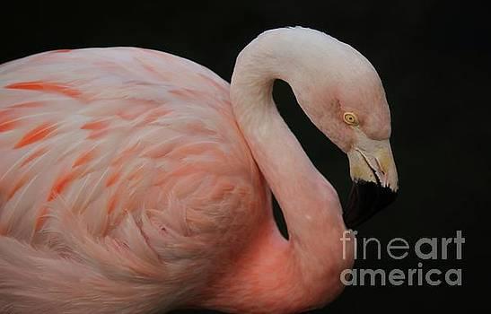Paulette Thomas - Flamingo