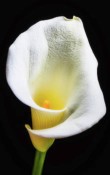 Glowing Calla Lily by Garry Gay