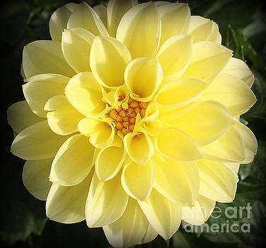 Glowing Yellow Dahlia by Dora Sofia Caputo Photographic Art and Design