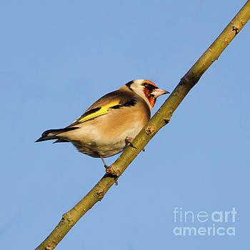 Goldfinch by Steev Stamford