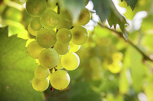 Jenny Rainbow - Grapes Filled with Sun
