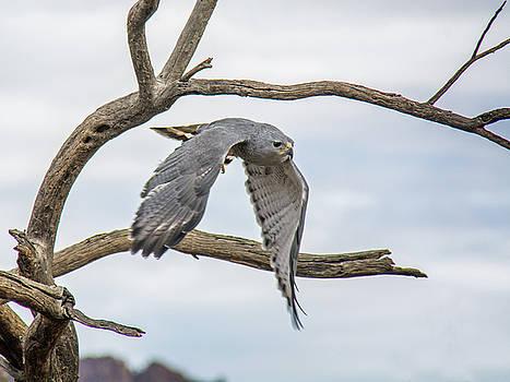 Tam Ryan - Gray Hawk