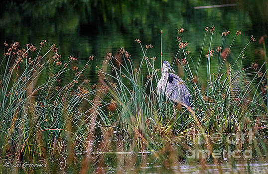 Great Blue Heron  by Les Greenwood