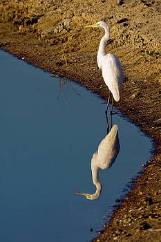 Great Egret Reflected by Sally Weigand