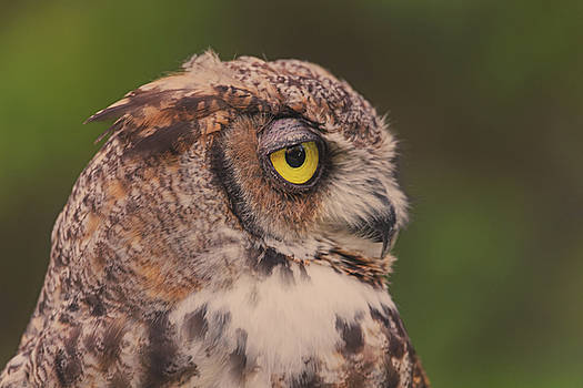 Great Horned Owl by Brian Cross