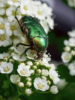 Green Rose Chafer by Jouko Lehto