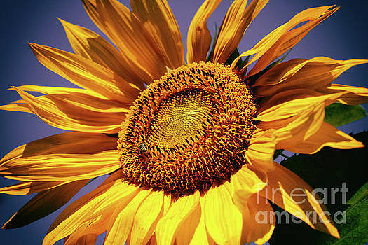 Happy Sunflower by Mariola Bitner