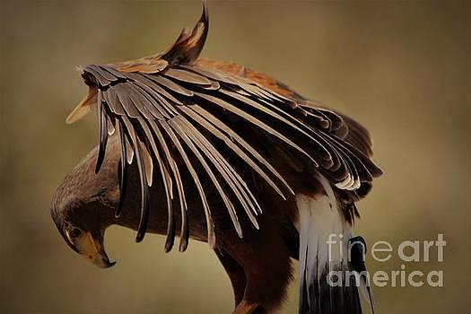 Hawk by Paulette Thomas